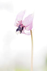 春の花暦はカタクリの花から - スポック艦長のPhoto Diary