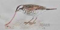 #野鳥スケッチ #ネイチャー・ジャーナル『鶫』 Turdus eunomus - スケッチ感察ノート (Nature journal)