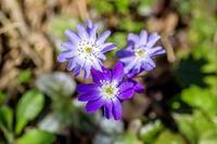 雪割草 - あだっちゃんの花鳥風月