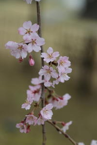 しだれ桜♪優雅な姿に癒されて~3 - Let's Enjoy Everyday!