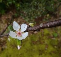 ゆすらの花… - 侘助つれづれ