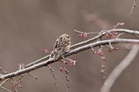 枝垂れ桜のカシラダカ - 四季の予感