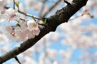 高遠小彼岸桜と晩ご飯 - Awesome!