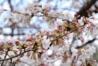 今日は桜の日 - 白雪ばぁばのかんづめ