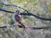 自宅近くのチョウゲンボウ2019 - トドの野鳥日記