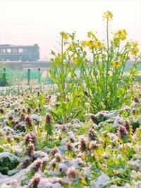 菜の花撮ってます - 今日も丹後鉄道