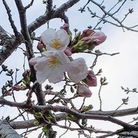 うちの桜 - りりぃ達といっしょ+りお
