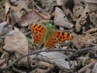 シータテハ - 秩父の蝶
