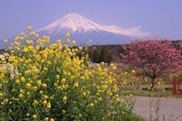 寒さくらと菜の花 - 富士山大好き~写真は最高!