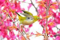 メジロ寒緋桜は間もなく終わりの気配。撮り急ぎレポート(^^; - 『私のデジタル写真眼』