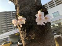 桜前線〜もう少し! - ねこちんの日常