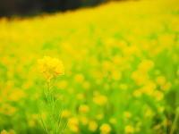 菜の花の春 - 風の香に誘われて 風景のふぉと缶