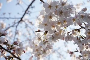 墨堤の桜 - 押絵羽子板・西山鴻月のブログ  『風のしがらみ』  ~この道一筋に~