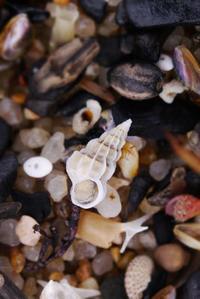 春の水晶浜・ネジガイ - Beachcomber's Logbook