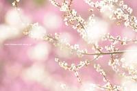 長野市(信州新町)ろうかく梅園 - 野沢温泉とその周辺いろいろ2