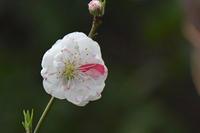 黒目川のジョウビタキ雌雄Daurian redstart - 素人写人 雑草フォト爺のブログ