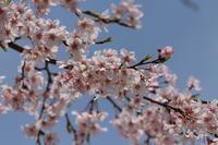 しだれ桜♪さくらの日☆4 - Let's Enjoy Everyday!