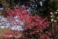 早咲き桜(4) おまけつき (2019/3/27撮影) - toshiさんのお気楽ブログ
