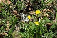 ■今季初認の虫 3種19.3.27(ナミアゲハ、モモブトカミキリモドキ、ヤブキリ) - 舞岡公園の自然2