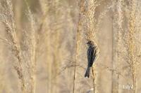 春の光とひとつに * 鳥天使シベリアジュリン♪ - 虹の架け橋  ~天使*精霊たちとともに~