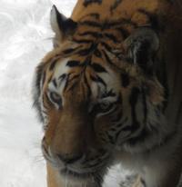 3月23日の円山動物園のトラ・テナガ。は虫類・両生類館 - 黄金絹毛鼠(コガネキヌゲネズミ)