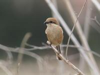 モズの番いに春の訪れ - コーヒー党の野鳥と自然 パート2