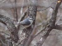 奥日光でゴジュウカラを観察 - コーヒー党の野鳥と自然 パート2