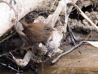 奥日光の湯川でミソサザイを観察 - コーヒー党の野鳥と自然 パート2