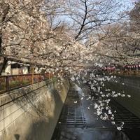 2019年3月27日の桜。 - 松毬のように