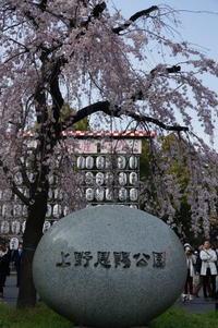 桜めぐり2019(上野公園) - マルオのphoto散歩