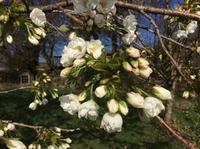 桜、桜、桜 - イギリス ウェールズの自然なくらし