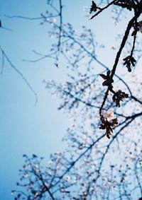 3回目の桜 - ティダぬファの雑記帳