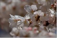 桜の蜜を集めるミツバチ - ハチミツの海を渡る風の音