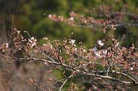満開のソメイヨシノ - 風の彩り-2