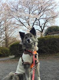 6歳おめでとう - 琉球犬mix白トゥラーのピカ