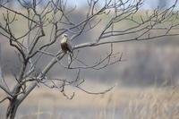 ケアシノスリ⑩難儀なカラス(前) - 気まぐれ野鳥写真