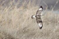 ケアシノスリ⑪難儀なカラス(後) - 気まぐれ野鳥写真