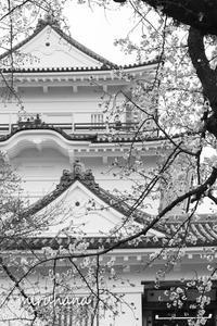 小田原城の桜。 - MIRU'S PHOTO
