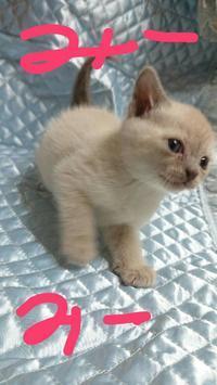 おっとりだけど運動神経抜群な♀ ミーミー - MINKWIN Cattery &Pretty Aki                    トンキニーズの店