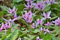 春の花:カタクリ、ニリンソウ、アズマイチゲ - バードカラー