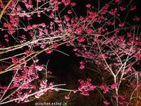 京都府立植物園のライトアップ桜~♡ - アリスのトリップ
