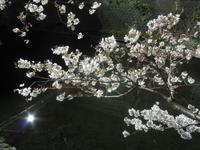 ちょっと寄り道・大岡川の夜桜 - 神奈川徒歩々旅