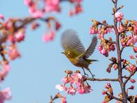 桜メジロ - この道は風なり