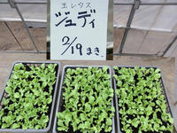 New!レタスの定植と... - やさい畑につかまって The Catcher in the Yasai-Fields!