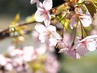 鶴見緑地の河津桜(1)@2019-03-09 - (新)トラちゃん&ちー・明日葉 観察日記