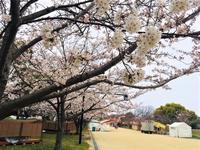 """5分咲き〜(^_^)in舞鶴公園 - 西薗守の""""子育て"""""""
