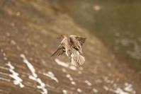 1525 高松の池のかも(飛ぶ) - 四季彩空間遠野