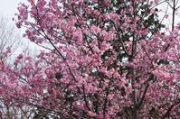 陽光桜とメジロ - さんじゃらっと☆blog2