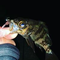 チビメバル♬ - 広島の〜中学生Seabass angler