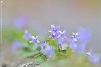 贅沢な桜 - お花びより